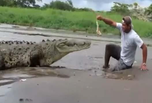 Опасное Кормление Крокодила